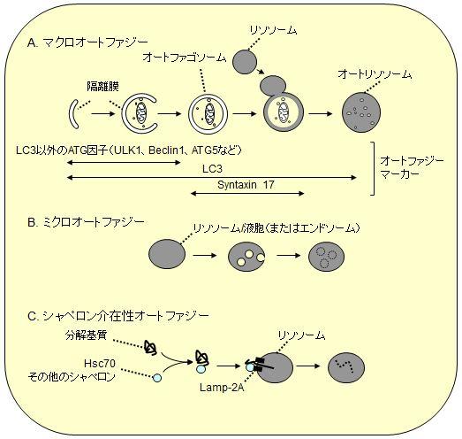 「マクロオートファジー シャペロン マイクロオートファジー」の画像検索結果